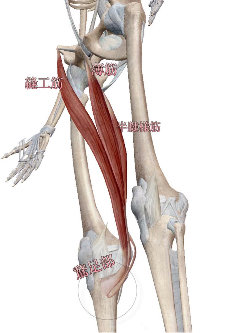 ストレッチ 鵞 足 炎 ランナー膝(鵞足炎)に対するアプローチ。ストレッチと筋力強化で症状改善。